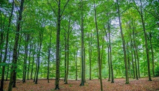 bosco di faggi